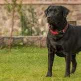 Black Labrador, who looks ready to chase after a ball, standing in a large yard.