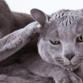 A Chartreux lying and scratching its ear.