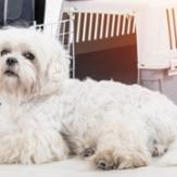 A Havanese dog lying next to a suitcase and a dog crate preparing to fly on a plane.