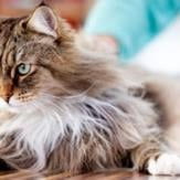 A serious-looking Maine Coon lying on a wood floor
