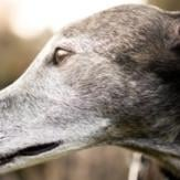 A close up of a senior Greyhound's face.