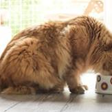 An orange Tabby cat eating food in a bowl in the kitchen.