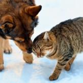A tabby cat headbutting an Australian kelpie mix on a snowy ground.