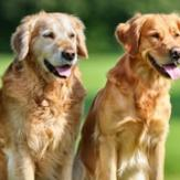 Two golden retrievers happily sitting on an open grass field.