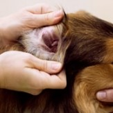 A vet examining a Collie dog's ear for possible ear infections.