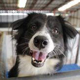 A border collie sitting in a pen at a shelter.