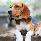 A tabby cat taking a nap next to a Beagle outside.