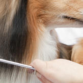 A dog groomer combing a sheltie.