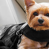 A Yorkie dog strapped in a harness for its safety while driving.