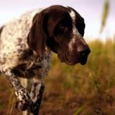 A German shorthaired pointer hunting in the grass.