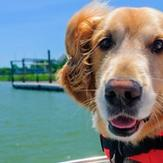 A happy senior golden retriever in a life jacket riding on a boat.