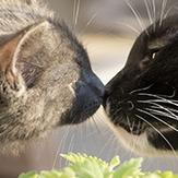 A grey cat and black cat sniffing each other's noses.