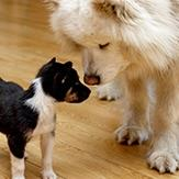 A puppy sniffing a grown Samoyed.