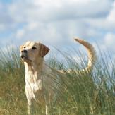 Yellow Labrador standing in tall grass field