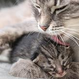 A mother cat grooming her sleeping kitten.