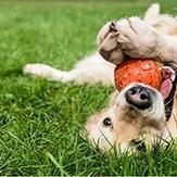 Golden retriever lying on its back playing with a ball in grass.