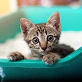 Bengal kitten sitting on the edge of the litter box.
