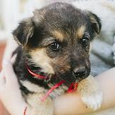 A German shepherd mix puppy being held in owner's arms.