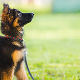 German shepherd puppy practicing sit with its owner.