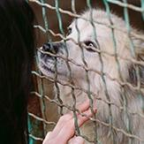 A woman petting a shaggy white and gray dog behind a green fence.