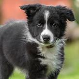 A healthy border collie puppy frolicking in the grass.
