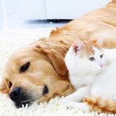 A tabby cat and a golden retriever cuddling together on a rug.